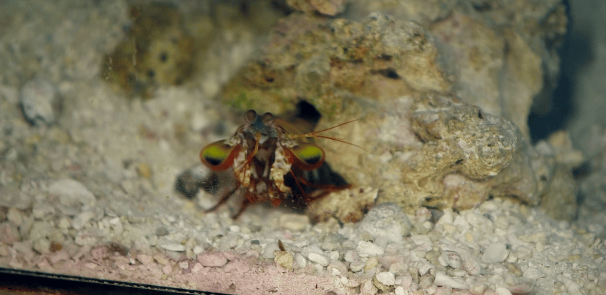 A mantis shrimp in one of UCR's tanks