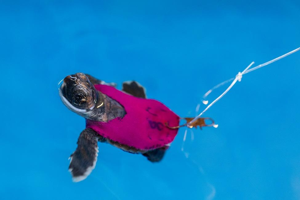 Along with their time on the treadmill, the turtles were also studied as they swam in place