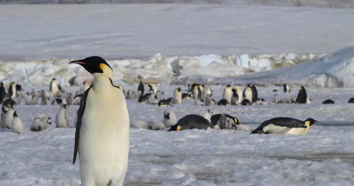 Satellites and penguin poop reveal new emperor penguin colonies