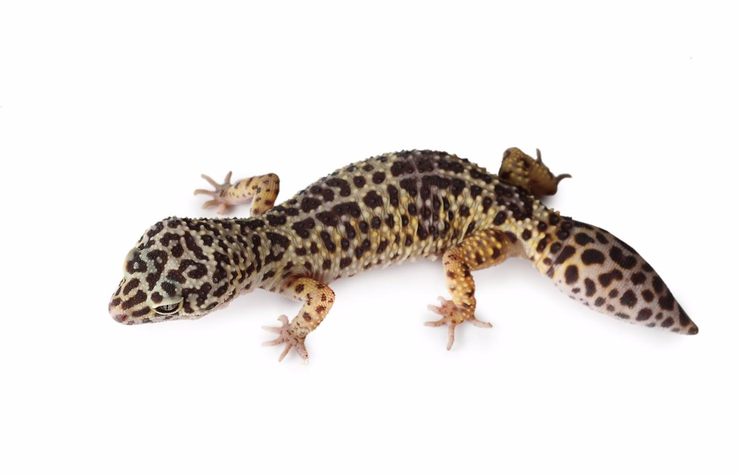 Geckos don't just regrow their tails, but also the spinal cord within