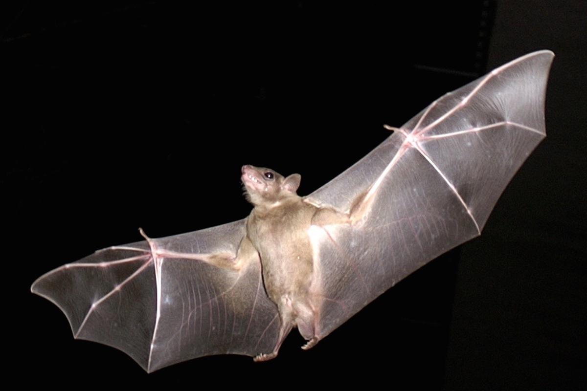 Like bats wings, the new MAV wings stiffen and relax for maximum aerodynamic efficiency
