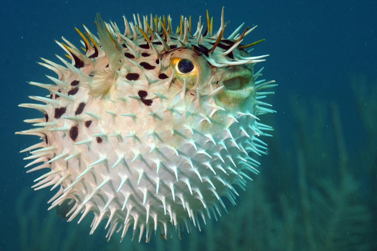 A long-spine porcupine fish, also known as Diodon holocanthus