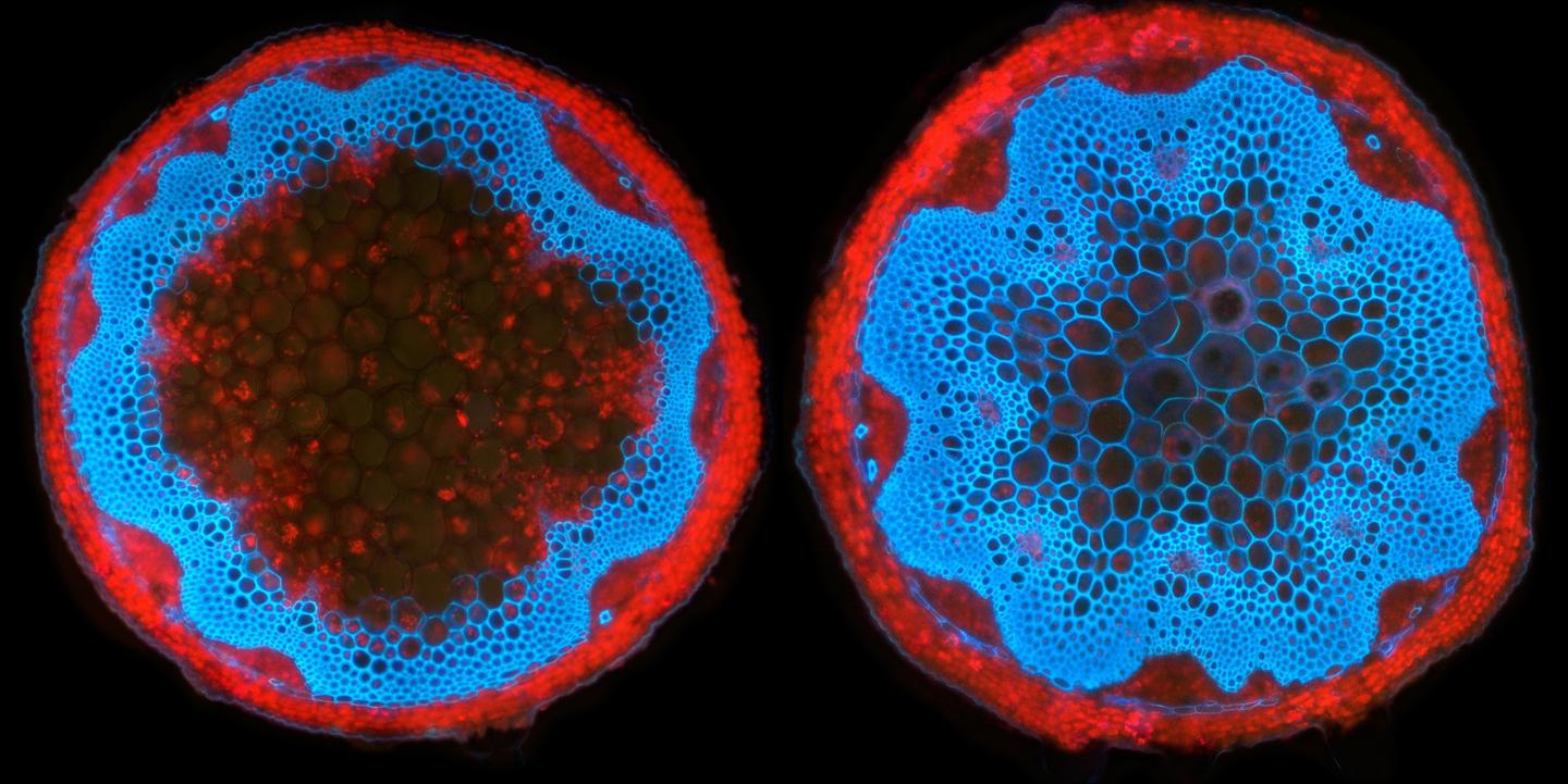 Lignin (blue) in a regular Arabidopsis stem at left, and in a modified plant's stem at right (Image: Samuel Roberts Noble Foundation)