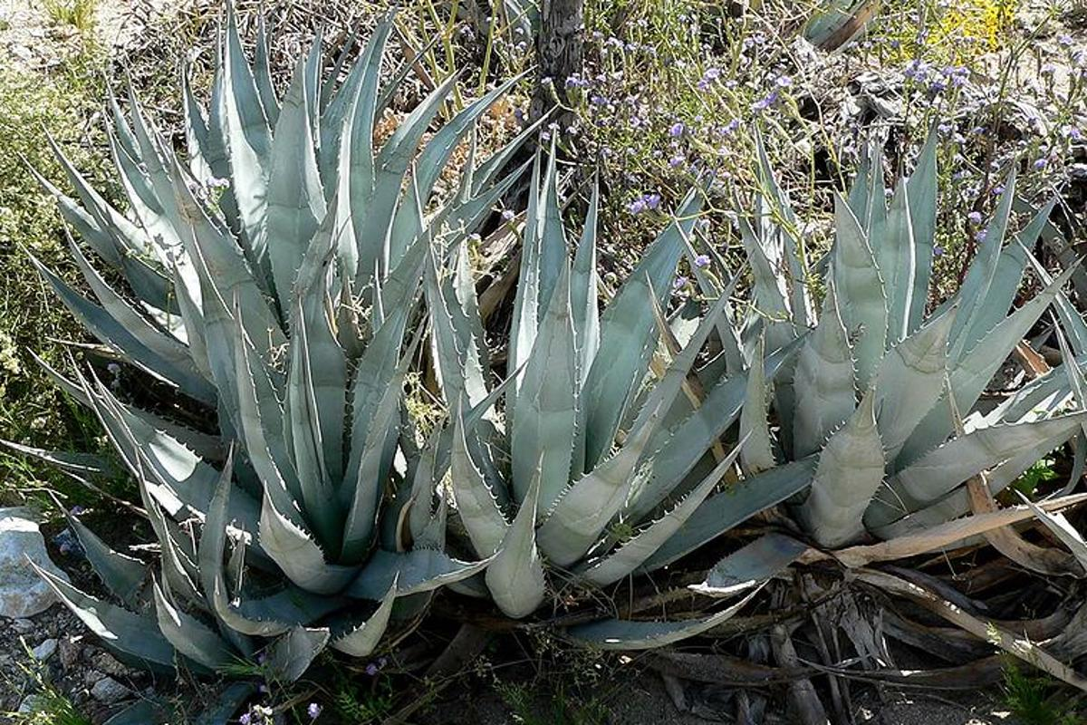 Agave has been identified as a potential new biofuel crop (Photo: Stan Shebs)