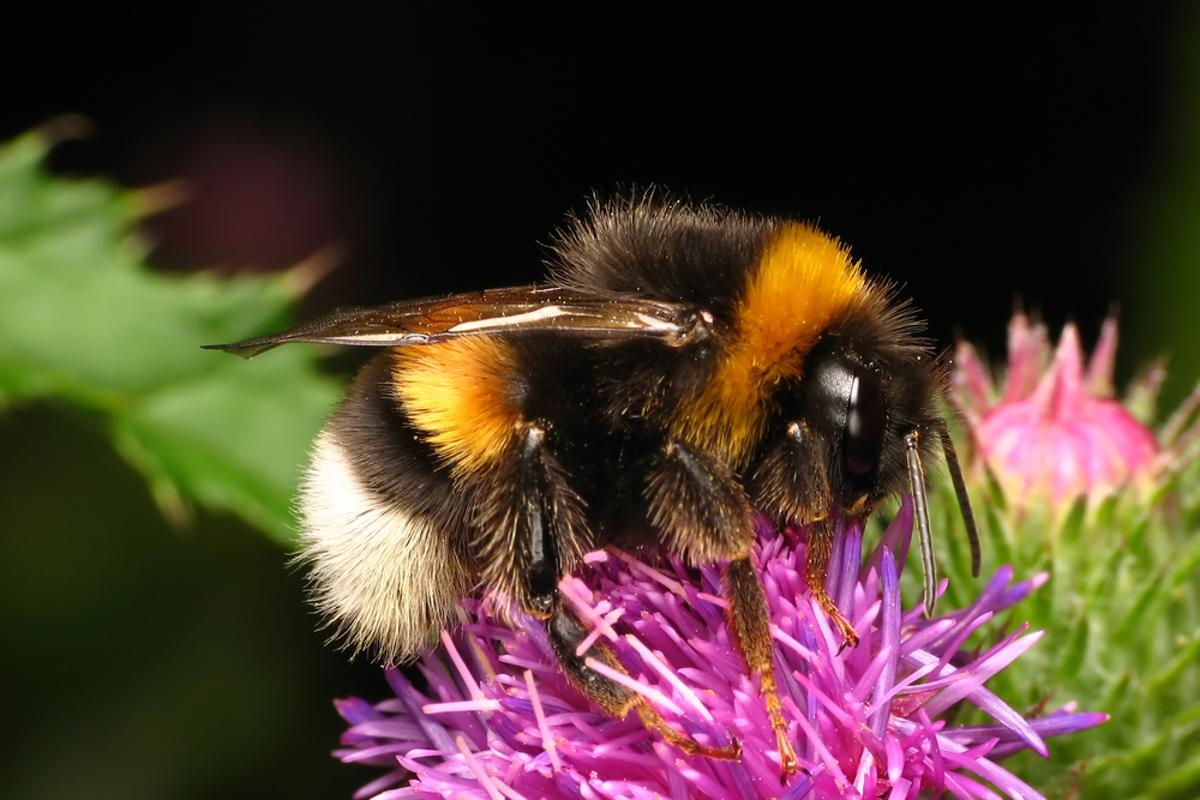 Studying the behavior of bees might lead to better, much more flexible ways to deal with problems ranging from building faster computer networks to creating more powerful microchips (Photo: Shutterstock)