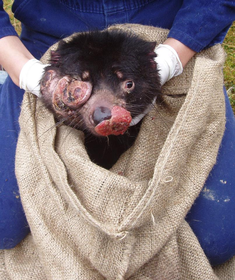 The Devil Facial Tumor Disease (DFTD) has wiped out 85 percent of the devils' population (Photo credit: Save the Tasmanian Devil)