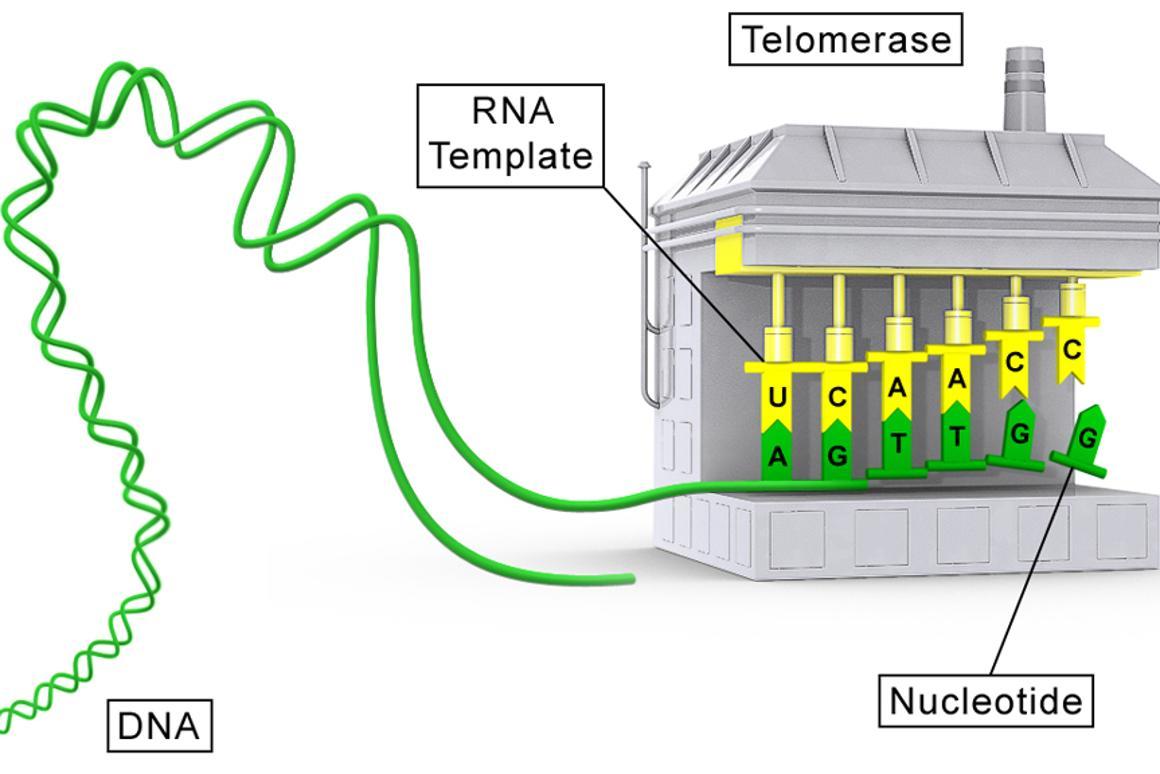 An illustration of a telomerase molecule (Image: Sierra Sciences, LLC)