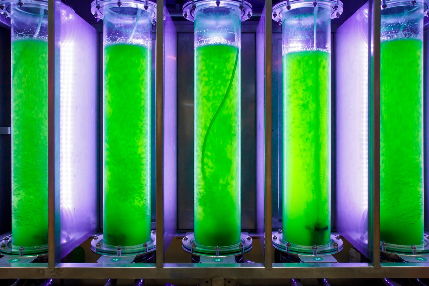 Microalgae being grown in tubes, in a traditional liquid growth medium