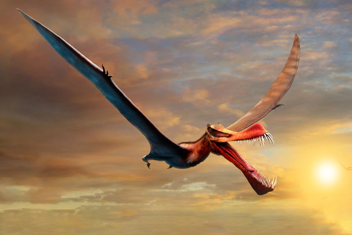 An artist's impression of Thapunngaka shawi, which was the largest known flying reptile in Australia