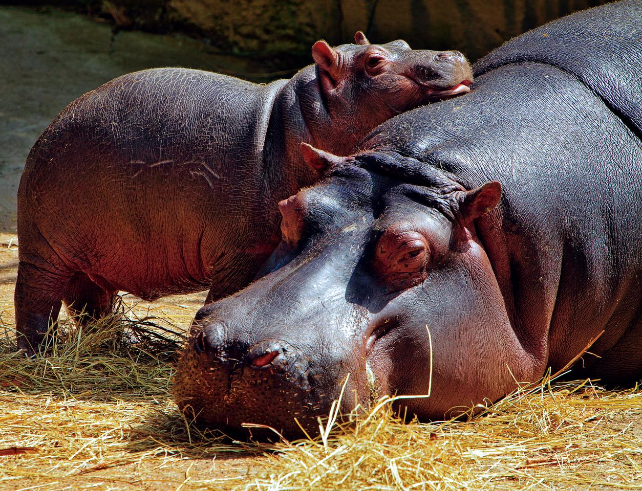 Pablo Escobar brought four hippos to Colombia. This population has now grown to between 80 and 100