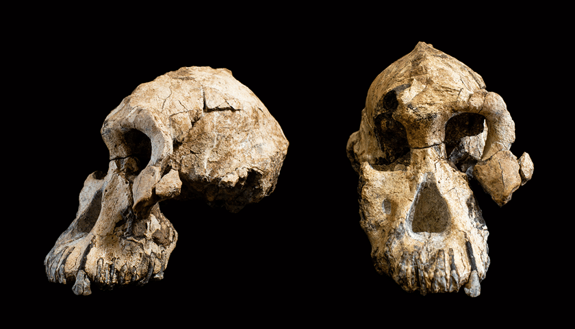 The almost-complete skull of Australopithecus anamensis