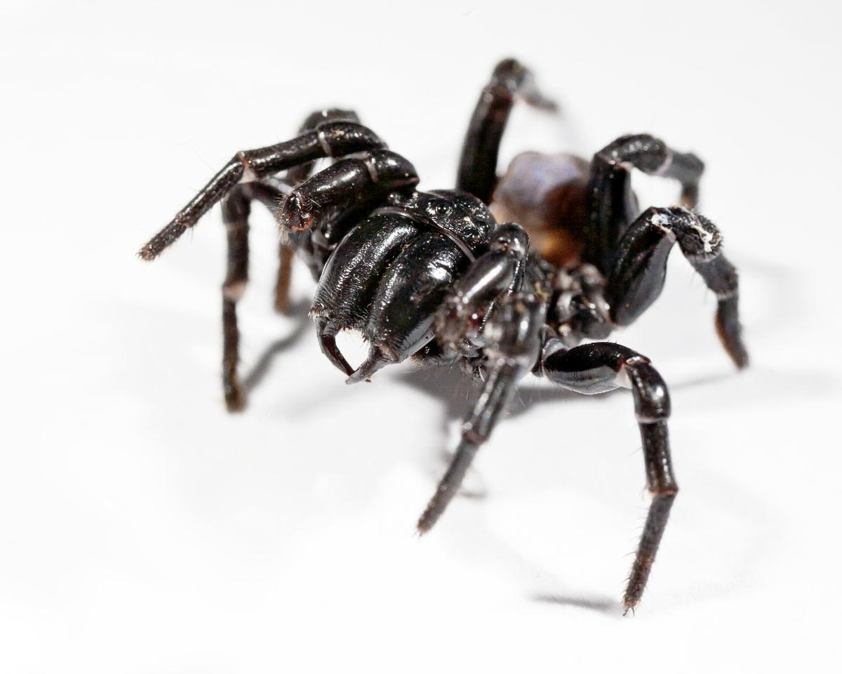 The Australian funnel-web spider could prove a lifesaver for future stroke victims after a peptide in its venom was discovered to reduce brain damage in a study involving rats
