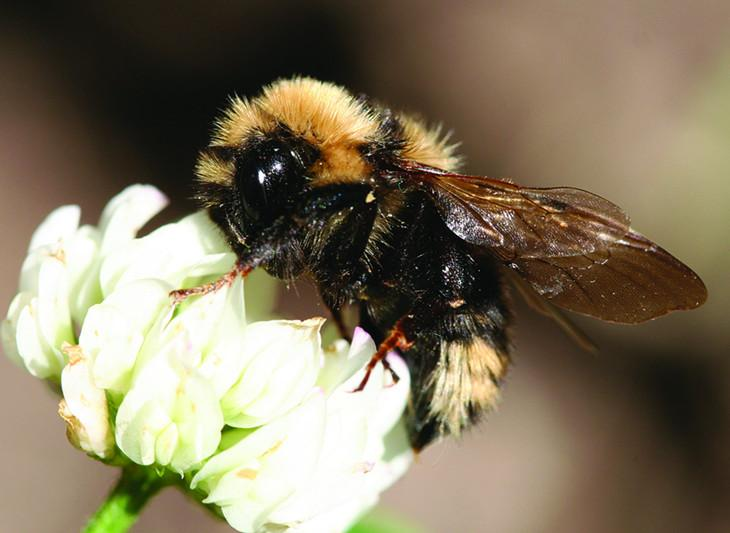 Bees look for flowers using their enhanced sense of smell, but air pollutants could be making it harder for them to sniff out possible food sources