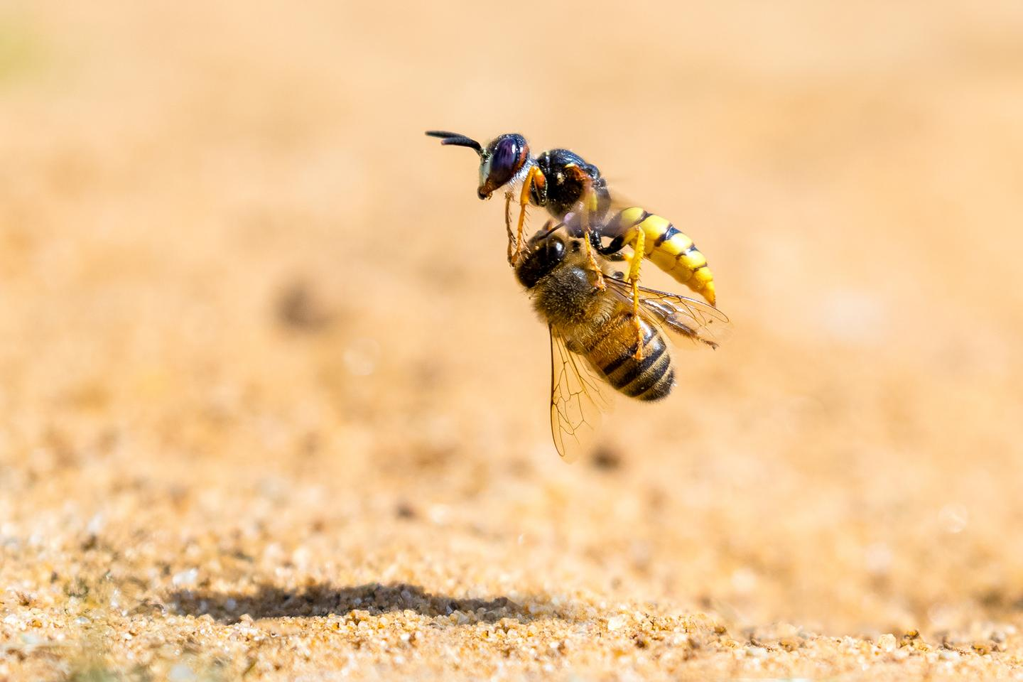 A wasp carries away its prey, a poor unsuspecting honeybee