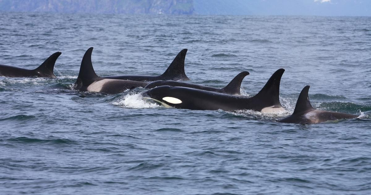The smallest killer whale has a large musical repertoire