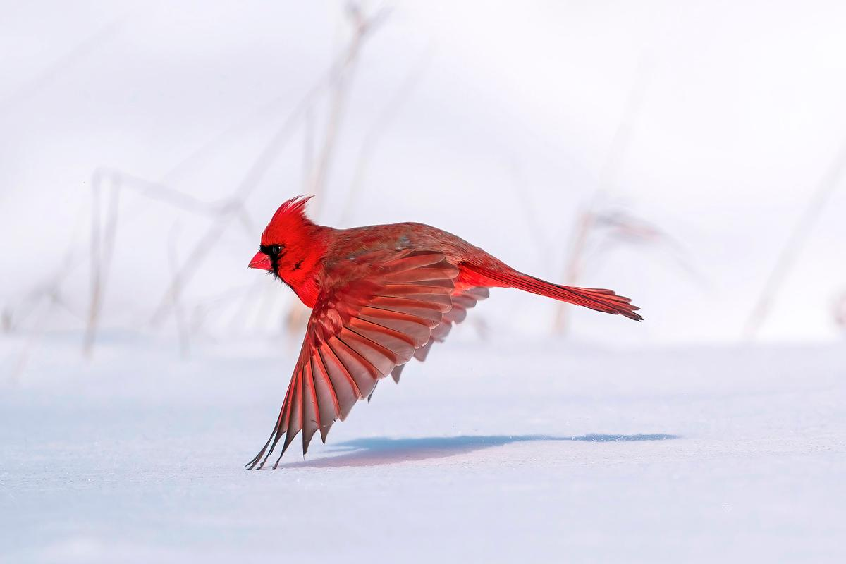 A red male Northern Cardinal seems to float above the snowy ground. Sony a9 II with Sony FE 200- 600mm f/5.6-6.3 G OSS lens; 1/5000 second at f/6.3; ISO 250