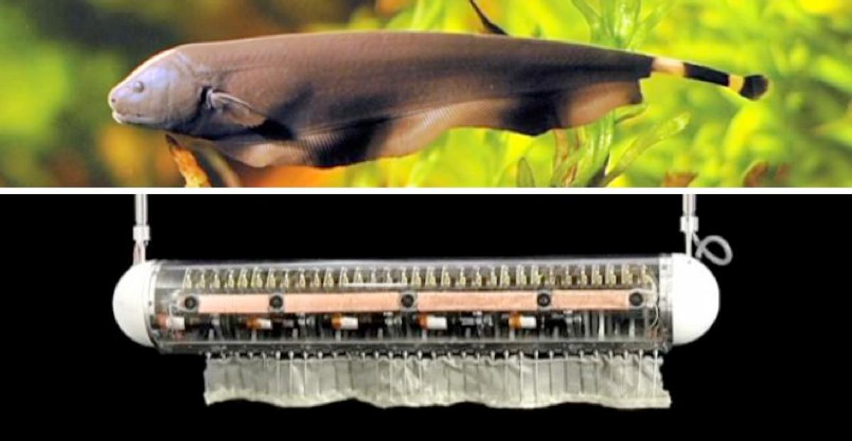 Researchers have created an underwater robot that swims in any direction using just one fin, inspired by the black ghost knife fish (Photos: Northwestern University)