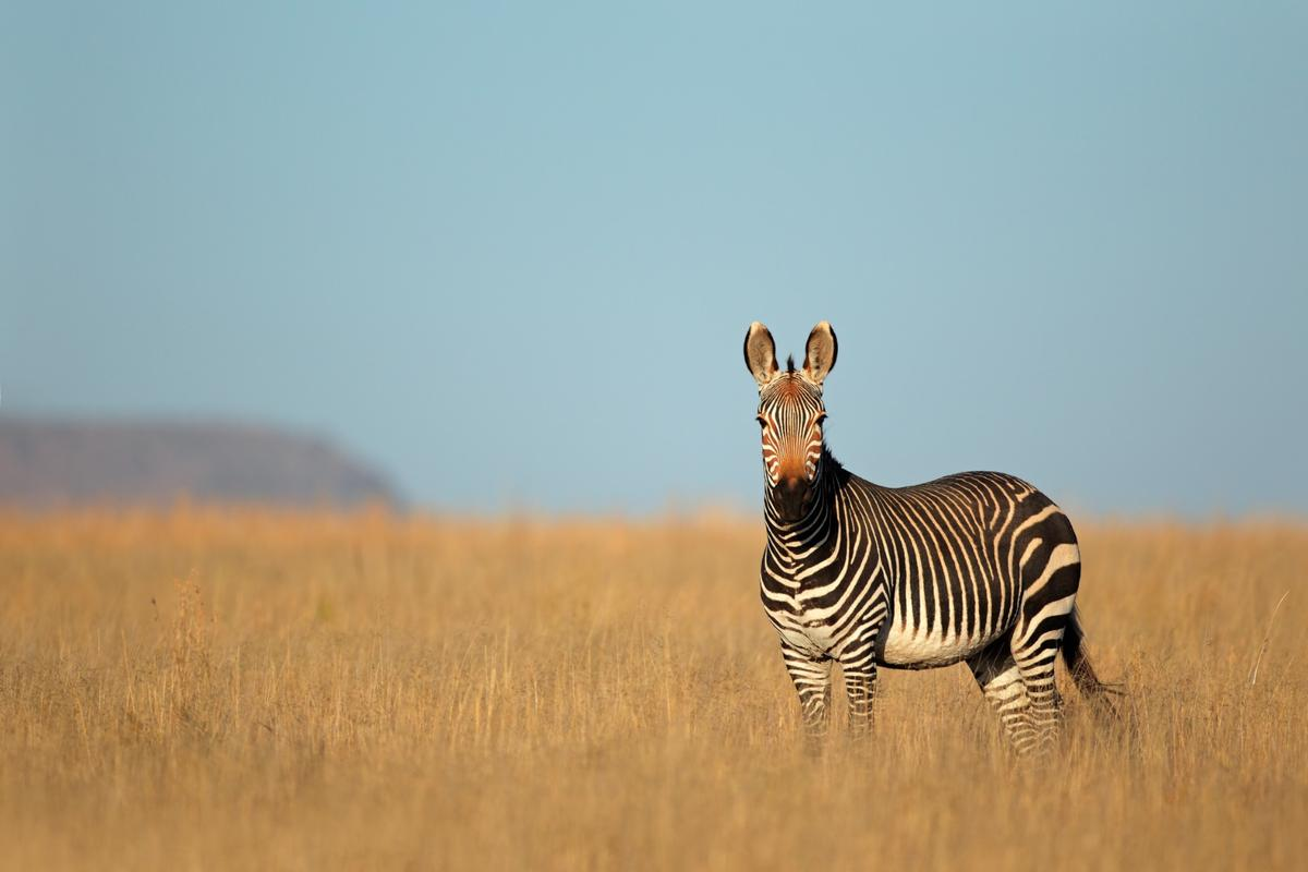 Zebras are on to something when it comes to repelling insects
