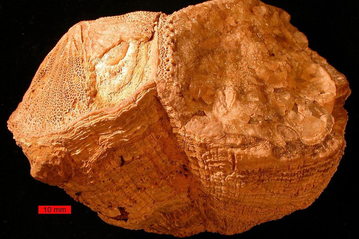 A fossil bivalve from the Late Cretaceous period