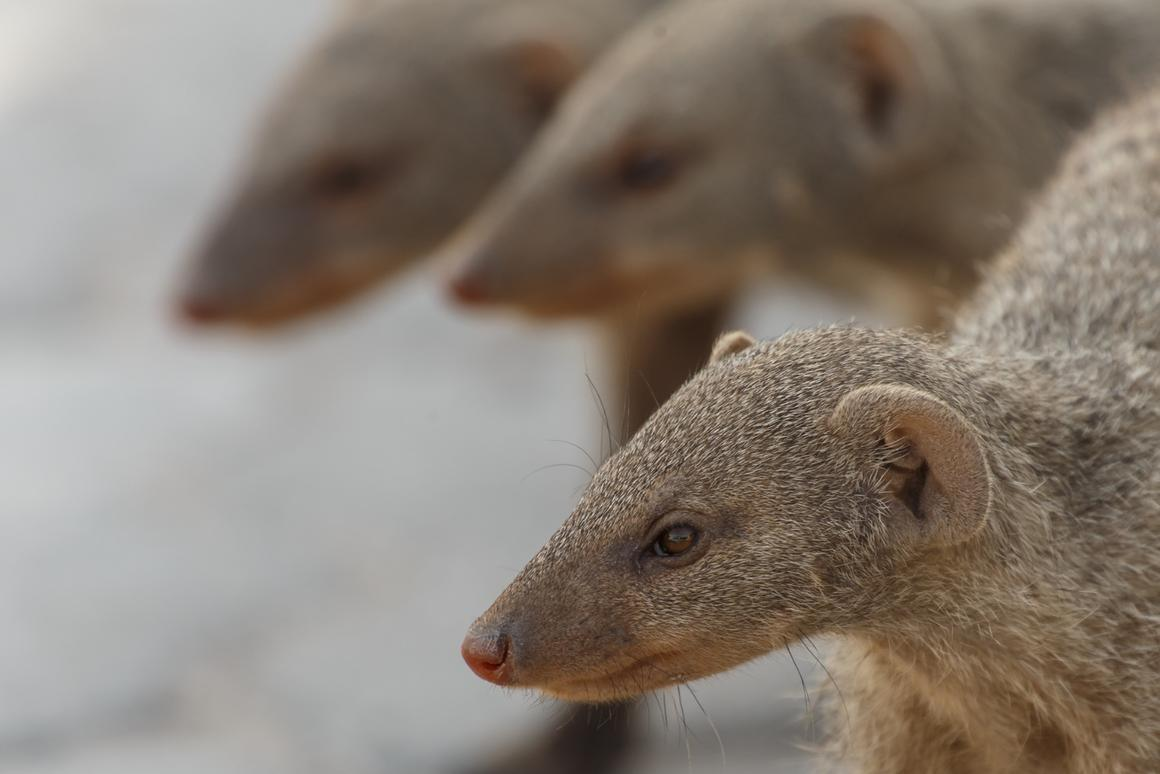 Banded mongooses: The vikings of the animal world?