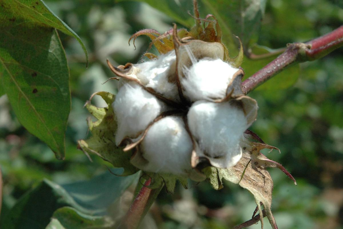 A boll of cotton matures in the field(Texas AgriLife Research photo by Kathleen Phillips)