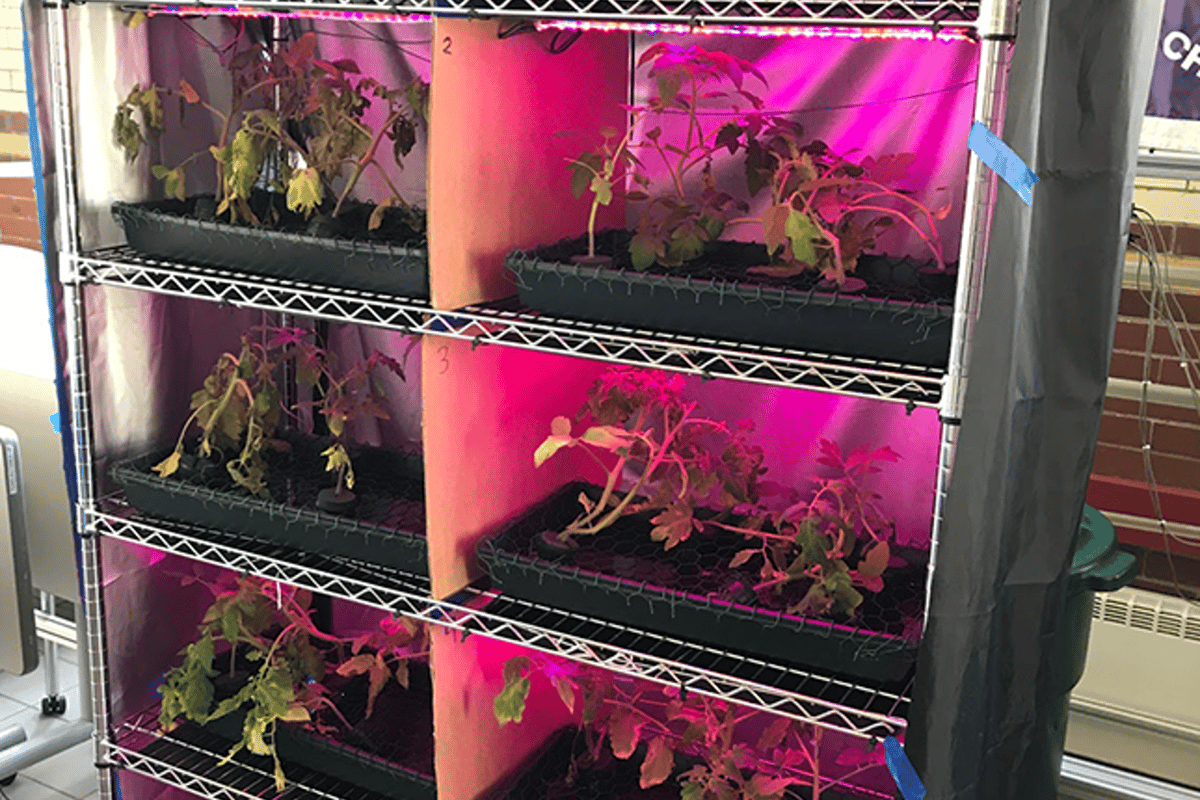 Tomato plants grow leaves under rapidly blinking, LED lights