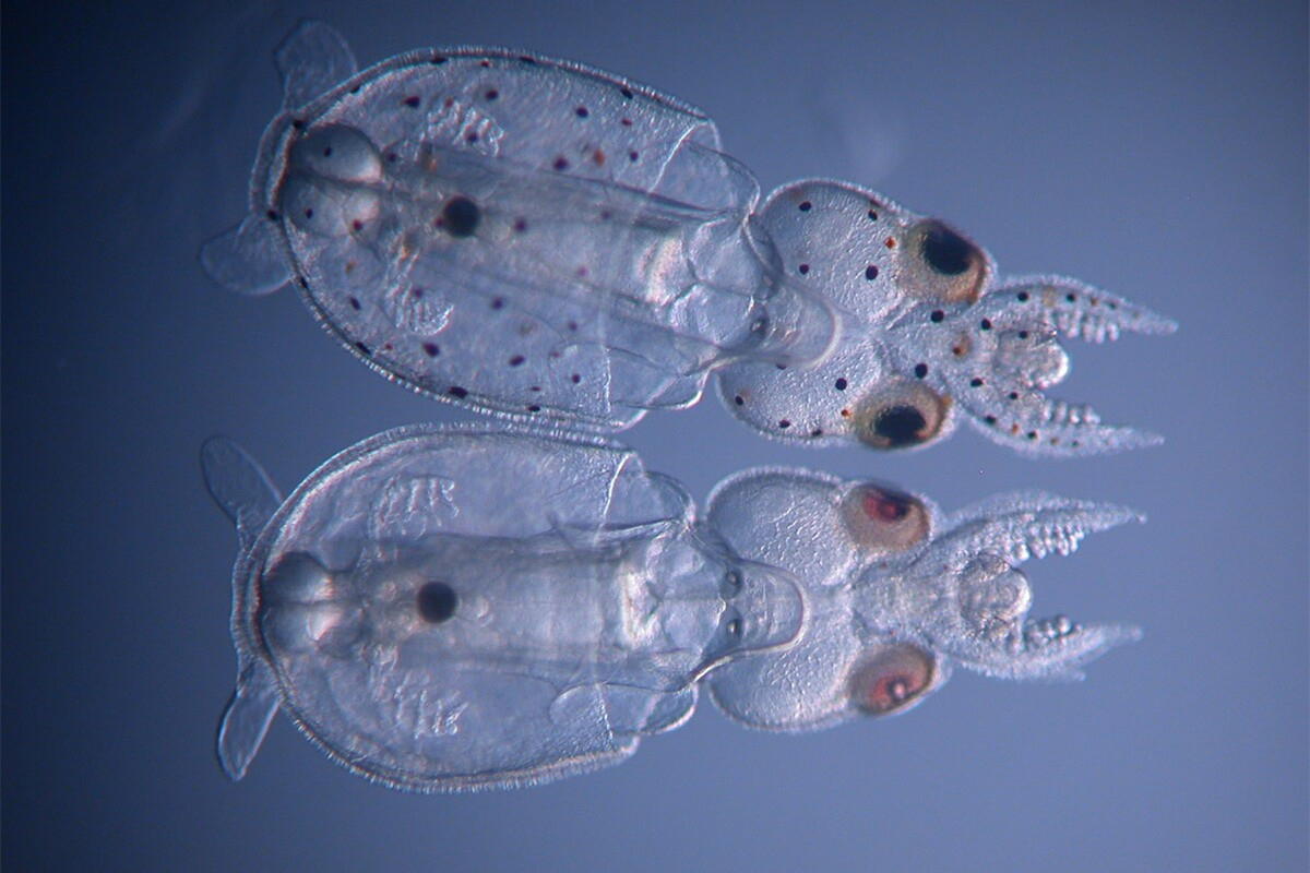 The squid hatching at the bottom of the image was successfully gene-edited to remove its spotted pigmentation