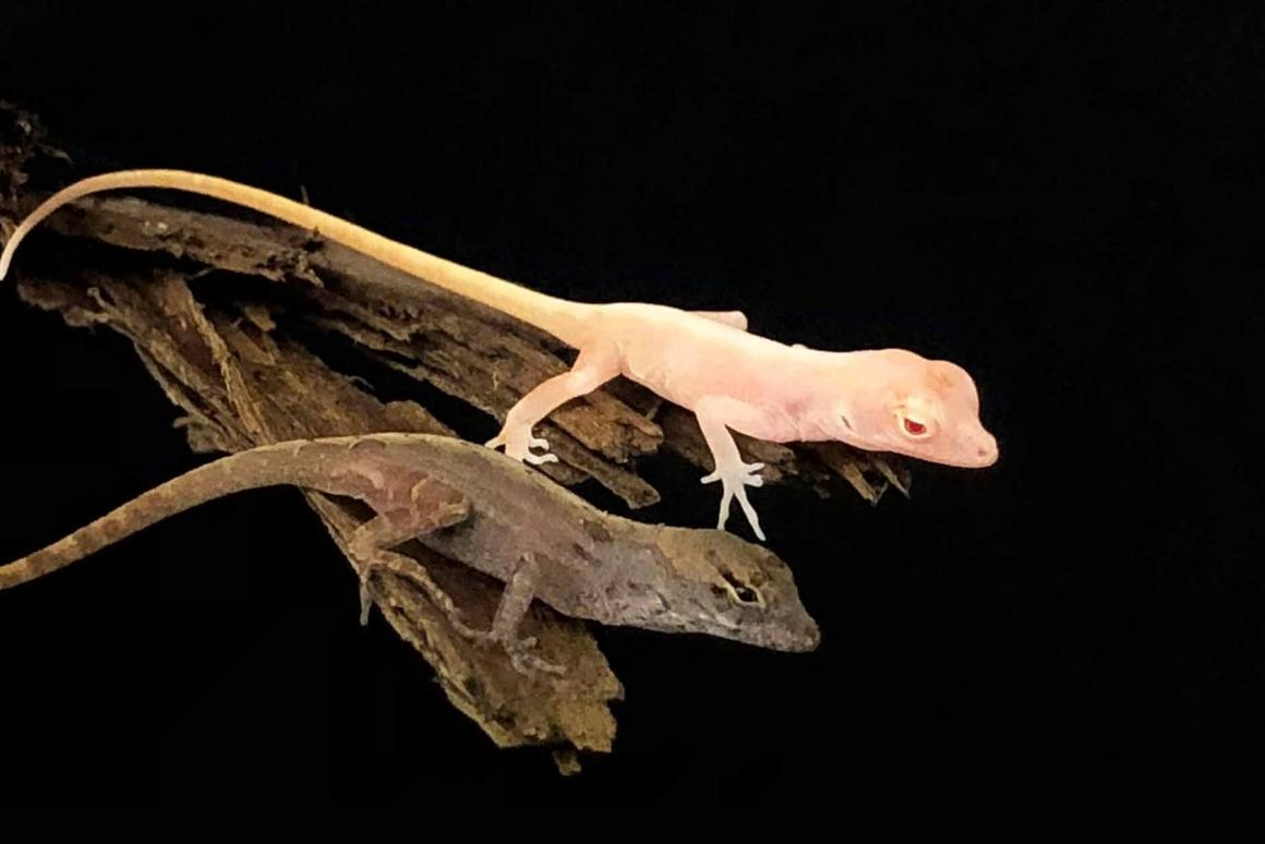 One of the four albino anoles, alongside a non-modified example