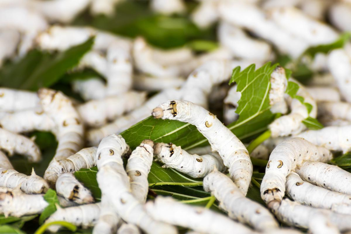 Silkworms chowing down on one of their favorite foods – mulberry leaves (Photo: Shutterstock)