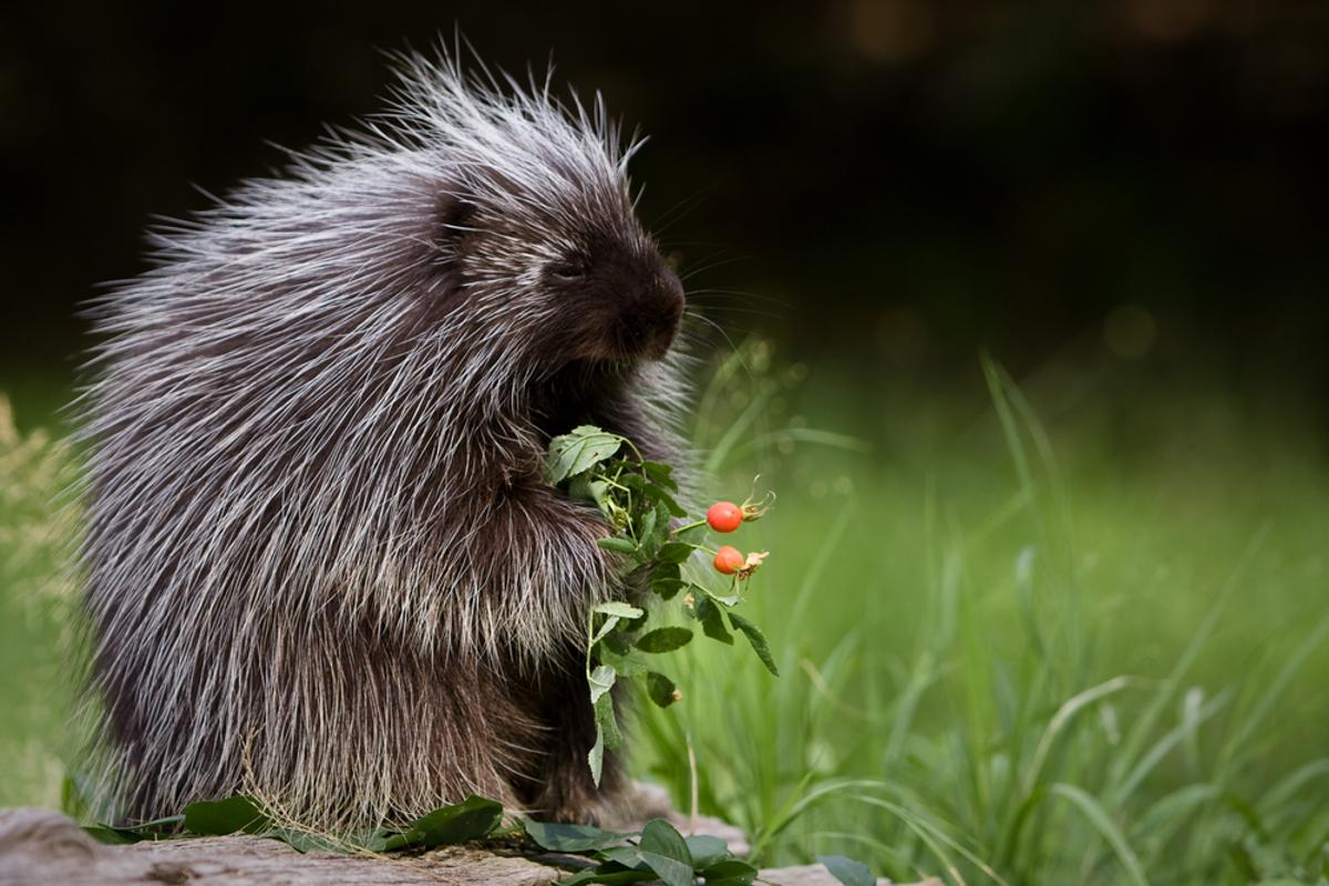 Quills may be good for more than just protecting porcupines (Photo: Shutterstock)