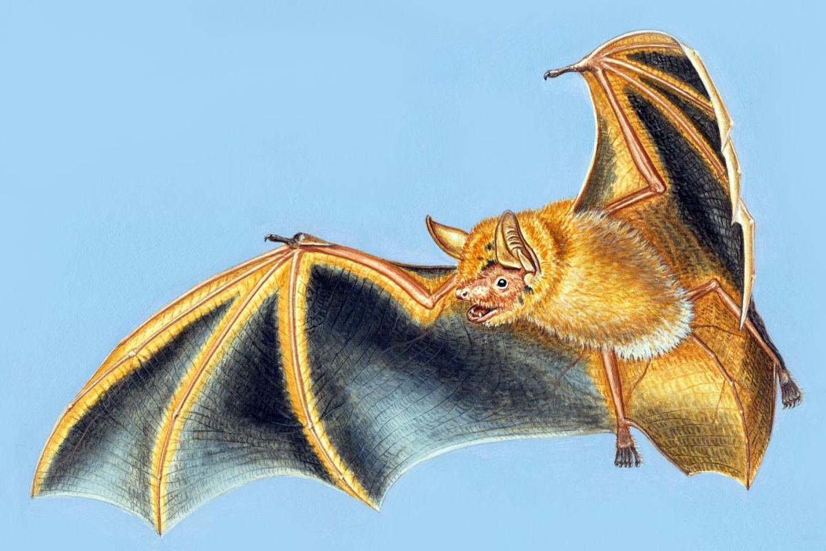 An artist's illustration of Myotis nimbaensis, the new species of bat found in the Nimba Mountains of West Africa