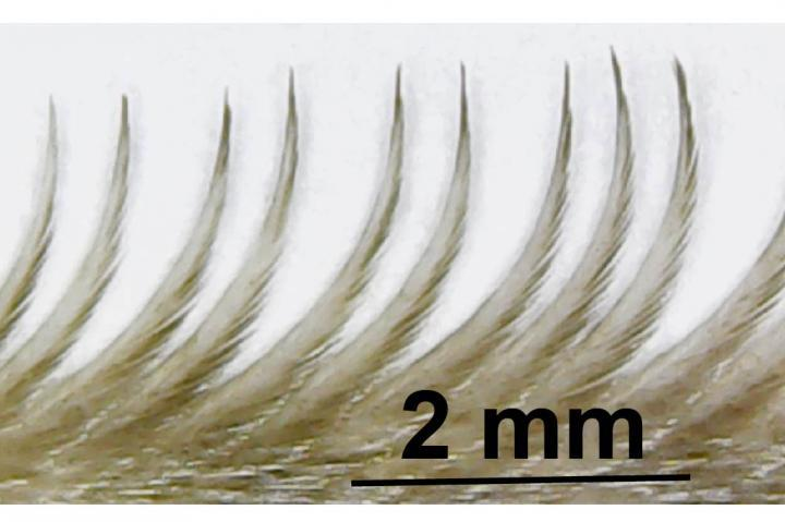 The serrated edge of an owl feather