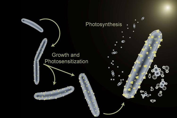 When fed cadmium, the bacteria decorate themselves in cadmium sulfide, which boosts the photosynthesis process