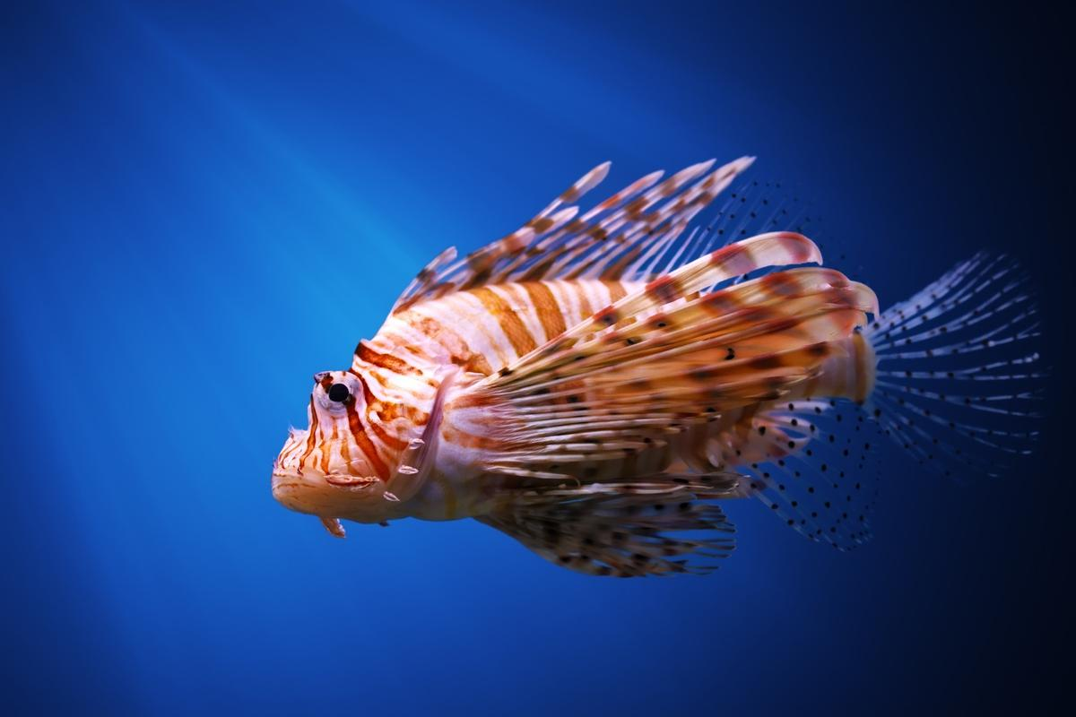 Lionfish are a destructive invasive species on many parts of the Caribbean and west Atlantic coasts