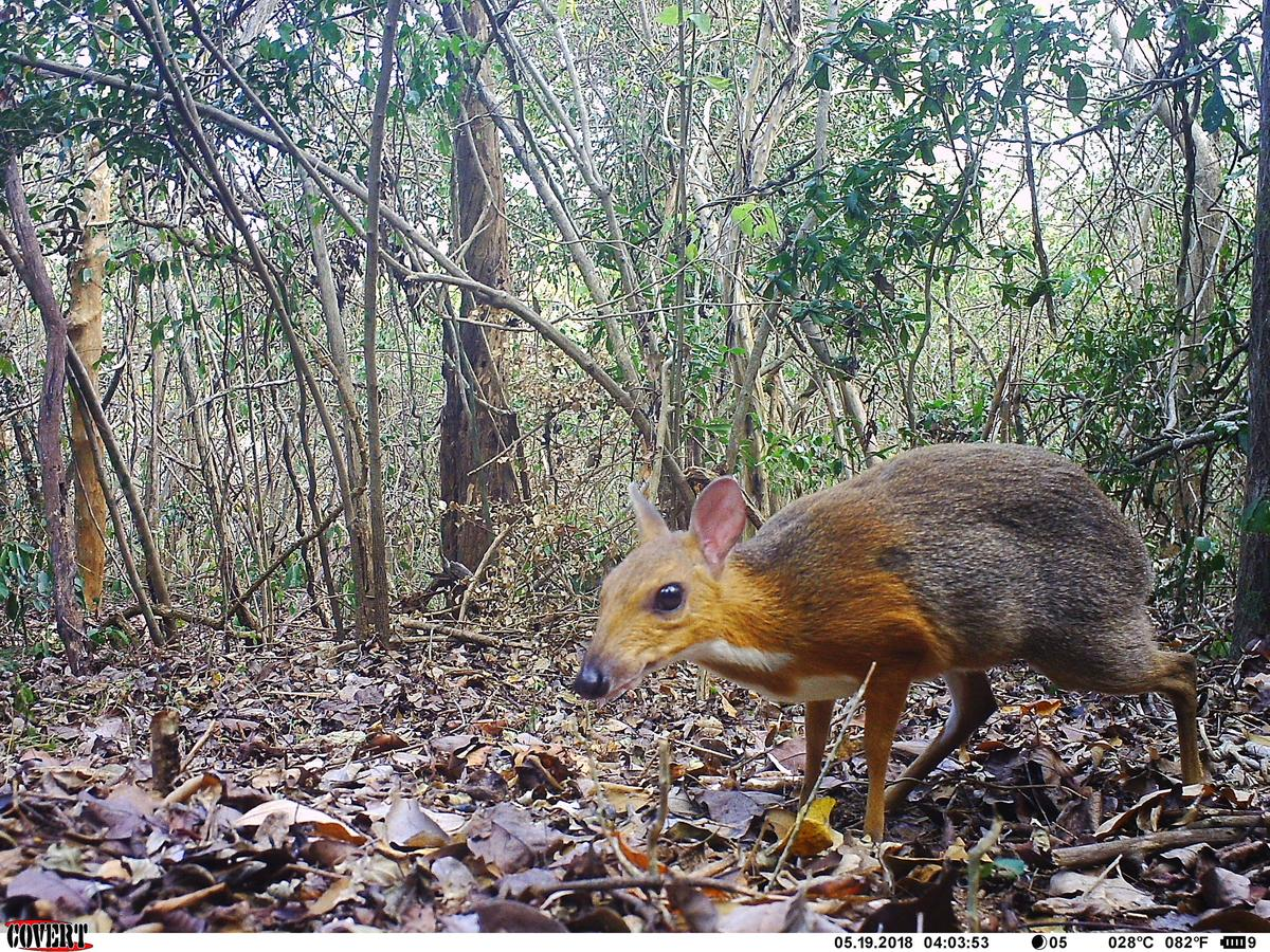 A silver-backed chevrotain captured on a camera trap in Vietnam
