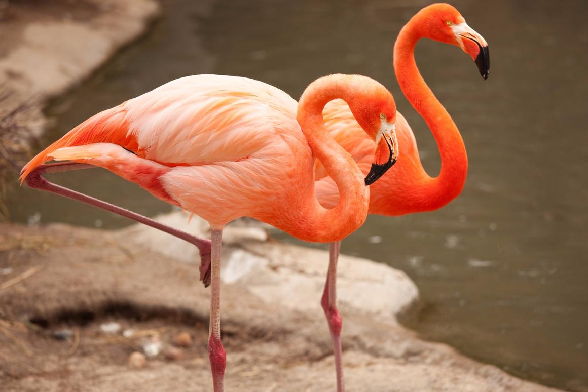Researchers at Georgia Tech believe they've answered thelong-standing mystery ofwhyflamingoes stand on one leg
