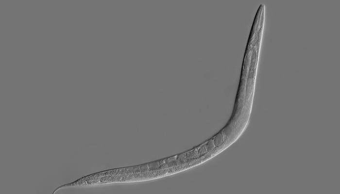 C. elegans is a worm whose simple brain has been digitized as a basic neural network, and now that system has been taught a new trick