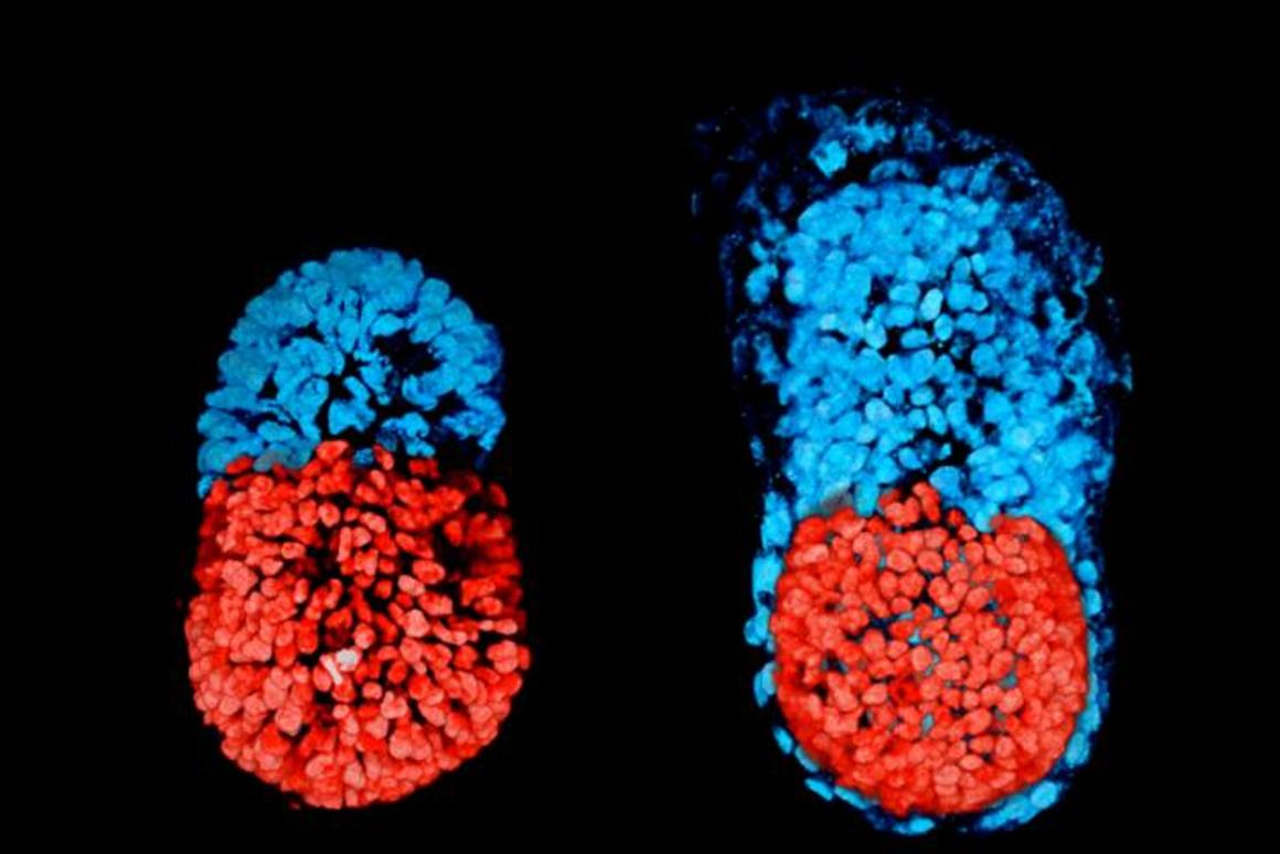 Researchers developed an artificial mouse embryo from two types of stem cells