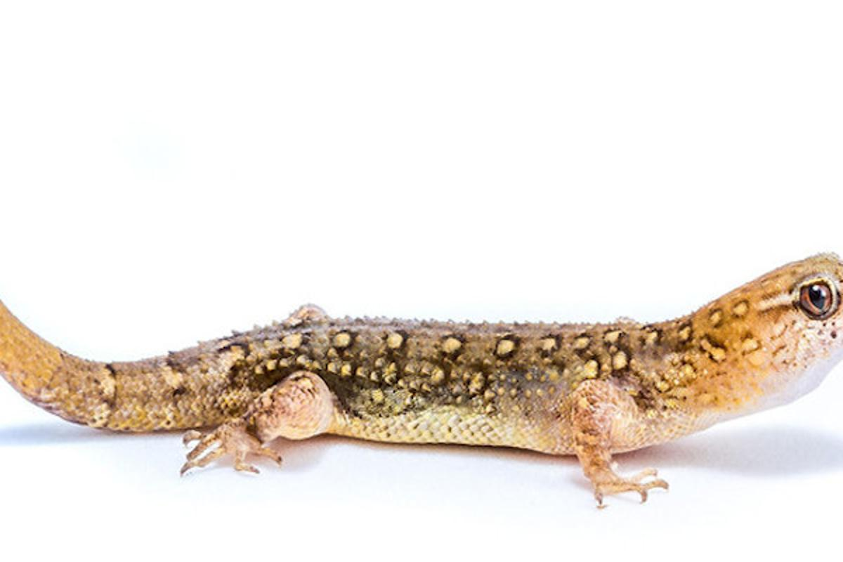 The gecko species Gymnodactylus amaralihas been foundto be evolving larger headsin response to human activity