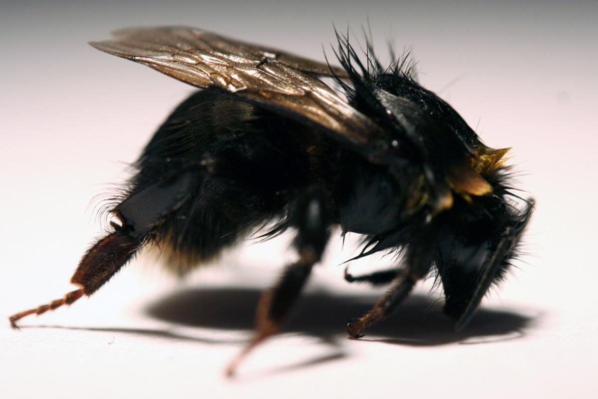 A bee exposed to a neonicotinoid pesticide, with bent front legs, withdrawn antenna, and matted fur causing loss of yellow coloration