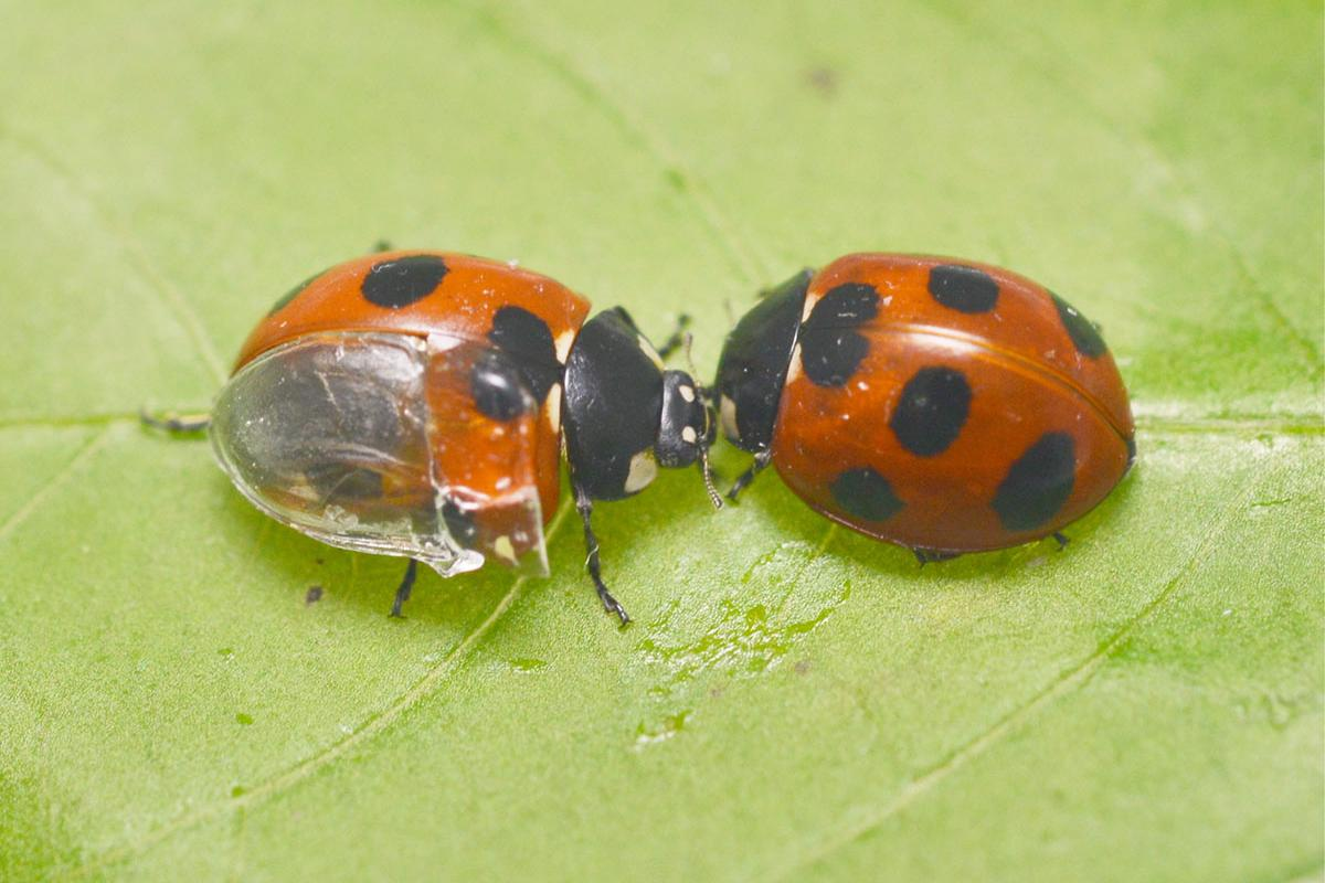 """The """"visible ladybug,"""" at left"""