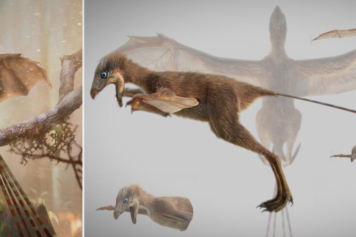 Ambopteryx longibrachium is a strange new species of dinosaur that sported bat-like wings and feathers