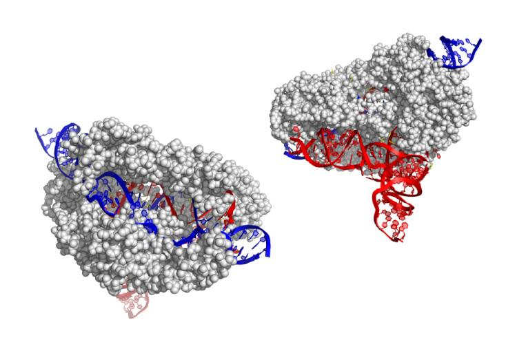 The structure of the CasX enzyme (grey), whichuses RNA(red) to target and cut DNA(blue)