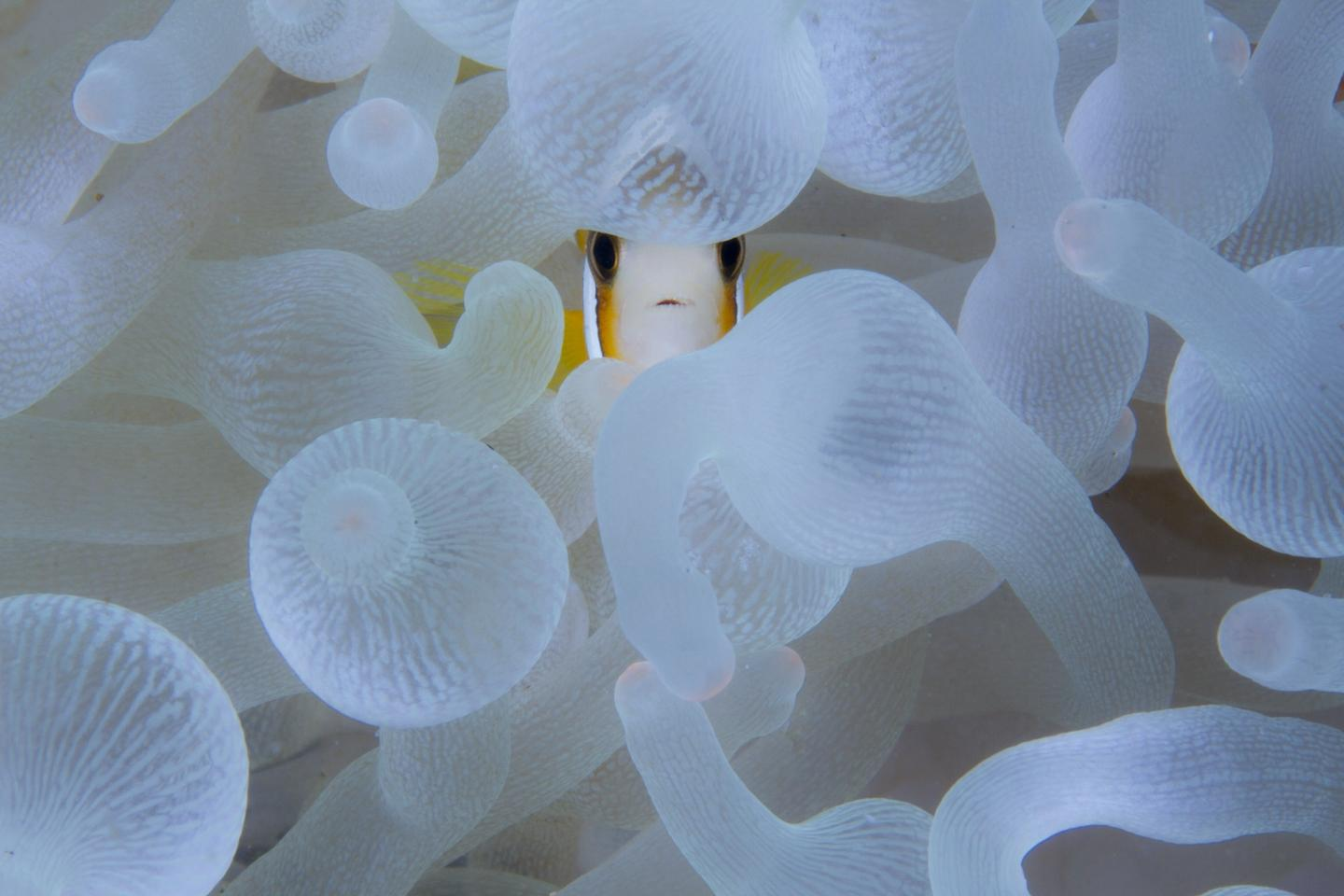 Special Mention - Wildscape and Animals in Habitat. A Nemo, An Anemone, Indonesia