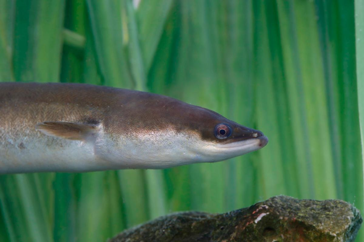 European eels head in the right direction thanks to their ability to sense even weak magnetic signals from the Earth
