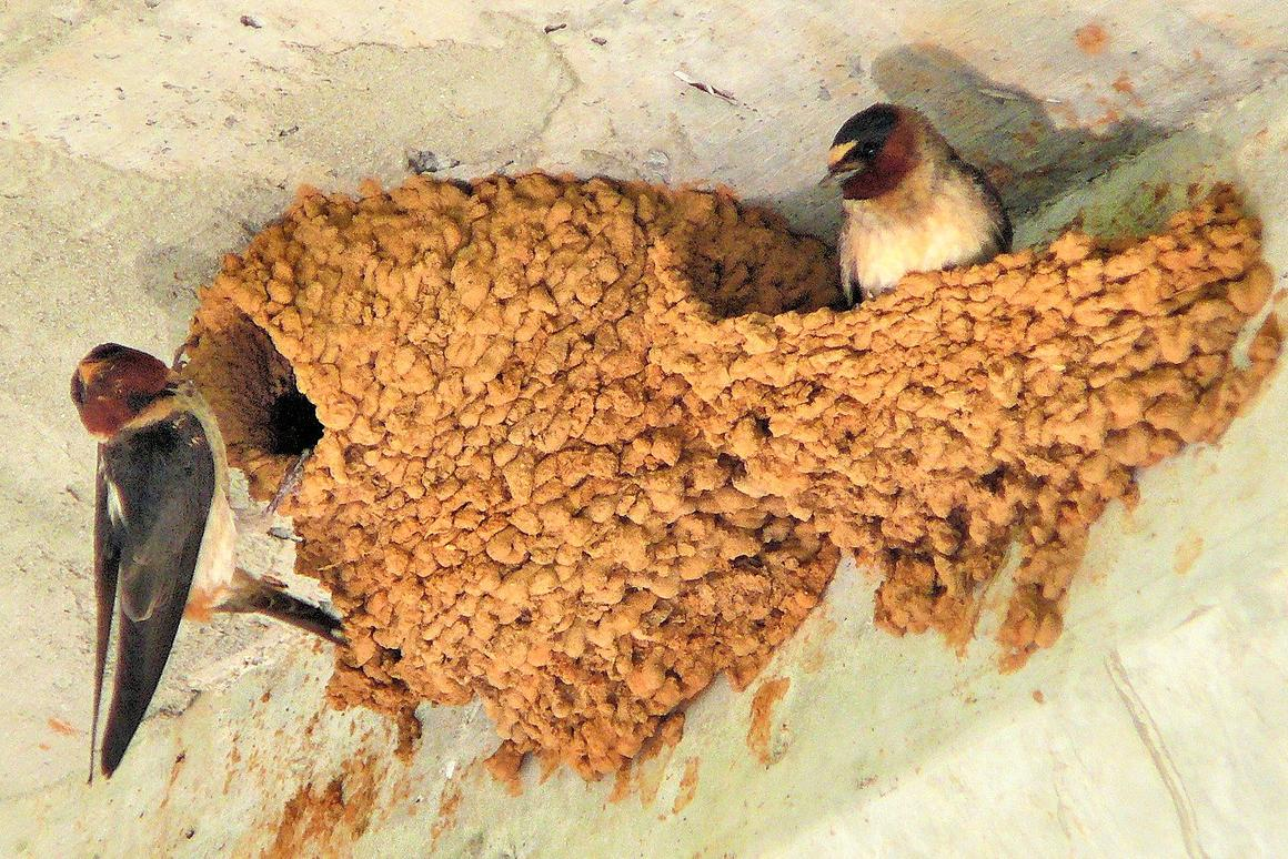 American cliff swallows building nests under a bridge