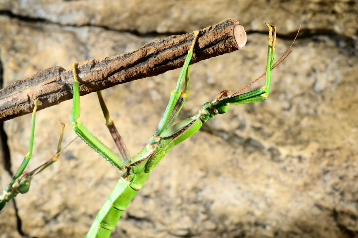 """""""Stick insects have developed an ingenious way of overcoming the conflict between attachment and locomotion"""" (Photo: Shutterstock)"""