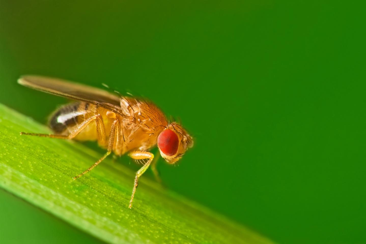 A study on fruit flies has significantly improved our understanding of Parkinson's disease