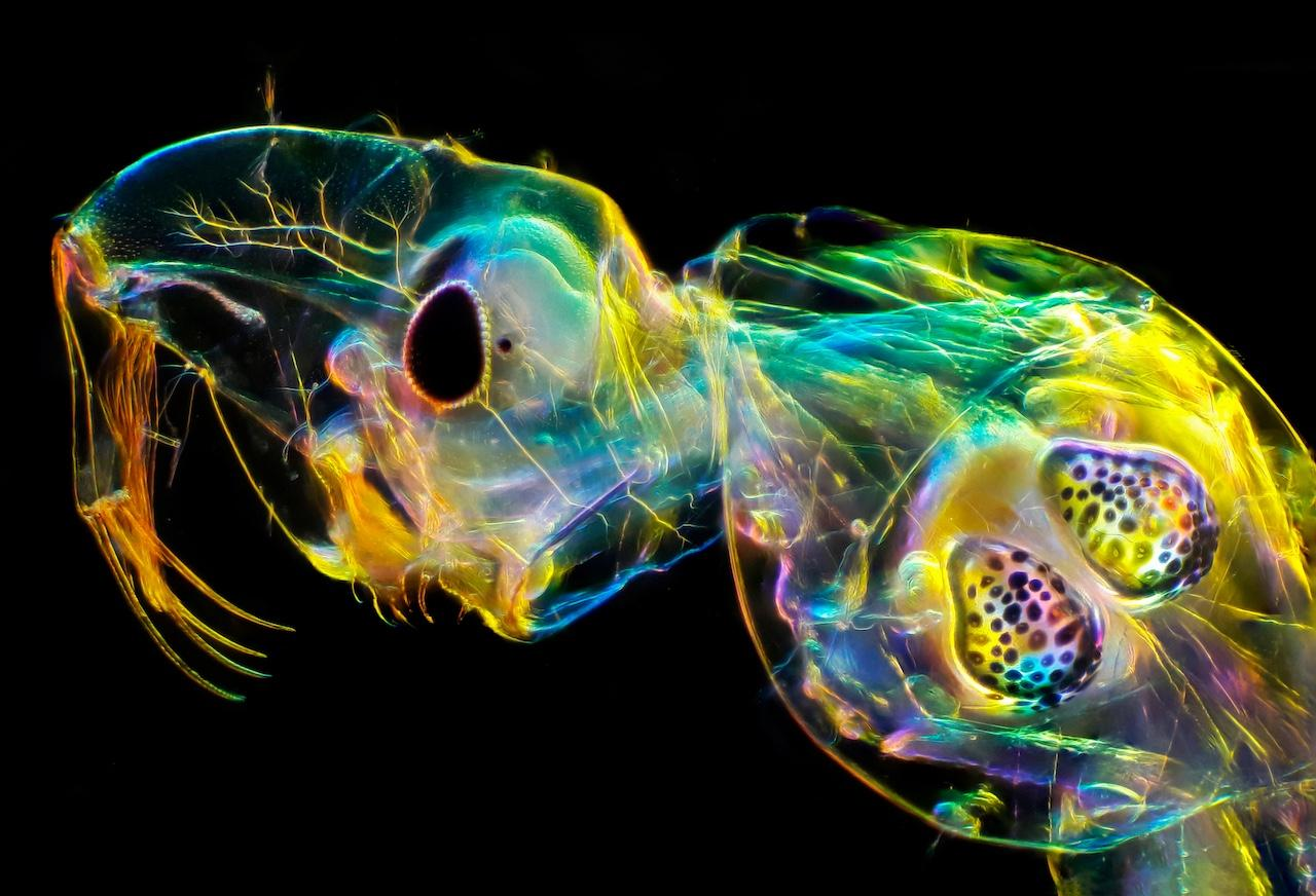 "Glass worm by Andrei Savitsky was the first place winner in the Micro category of the 2020 Close-up Photographer of the Year. It shows the internal organs of a transparent fly larva, including its clearly-visible ""swim bladders."""