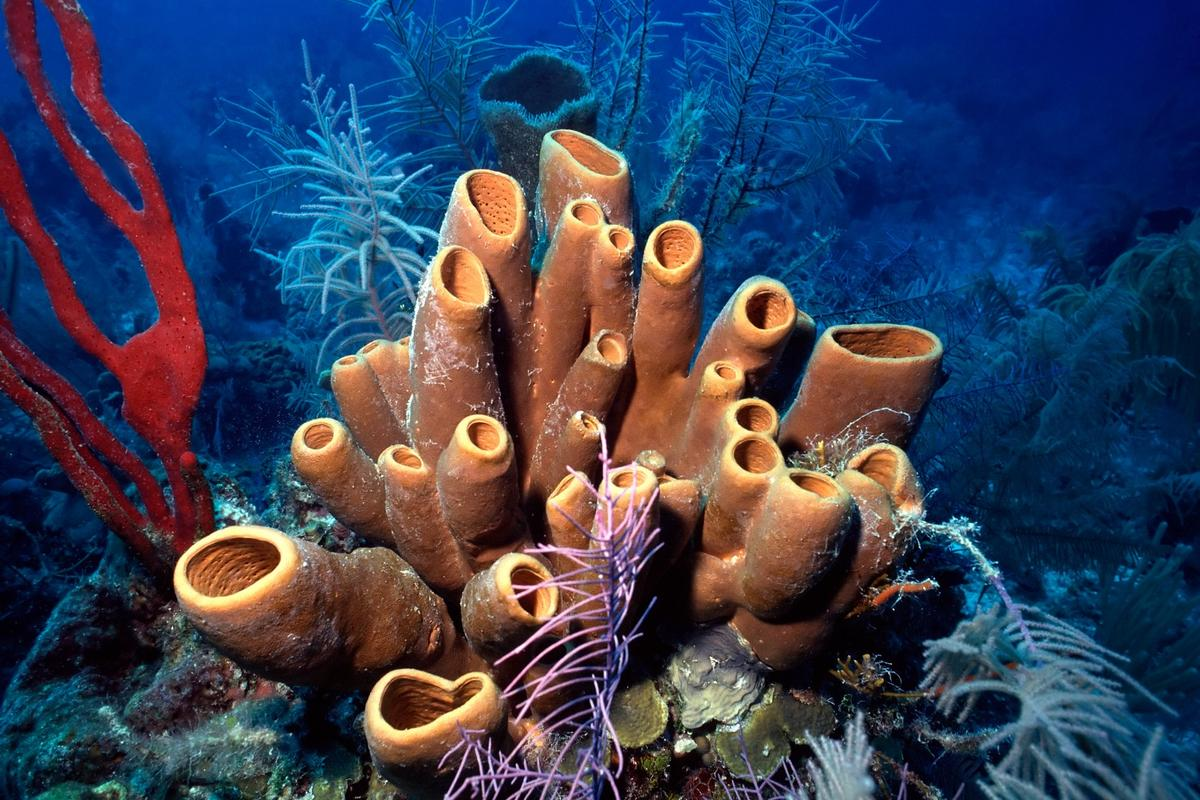 Brown tube sponges on a reef in Belize